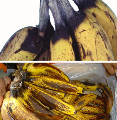 after-fruit-crop-diseases-in-banana