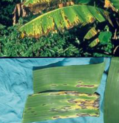 banana crop diseases infromation