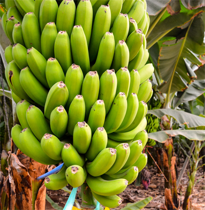 banana crop farming details