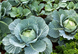 cabbage crop farming details