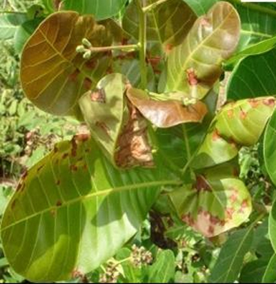 cashew-nuts crop diseases infromation