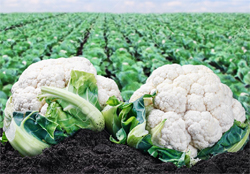 cauliflower crop farming details