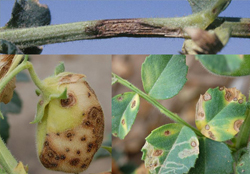 chickpeas crop diseases infromation