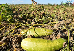 cucumber crop diseases infromation