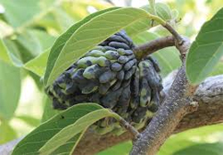 custard-apple-plant crop diseases infromation