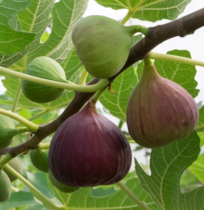 fig crop farming details