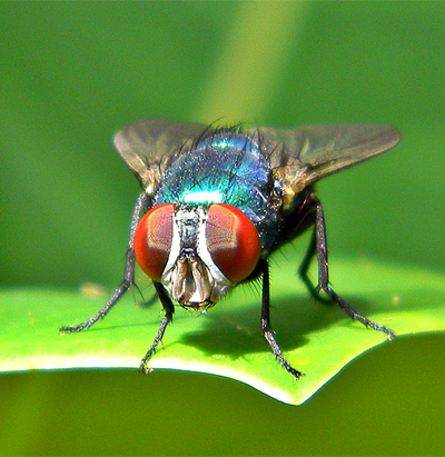 fig-fly