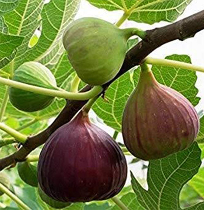 fig-crop-afterpesticides-result