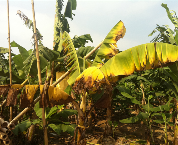 fusarium-wilt-of-banana