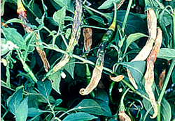 green-chilli crop diseases infromation