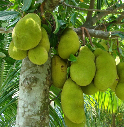 jackfruit crop farming details