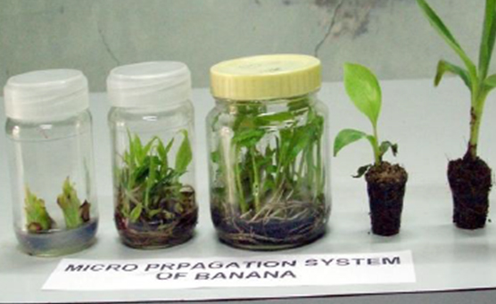 micropropagation of banana