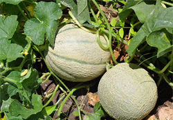 muskmelon-crop-farming