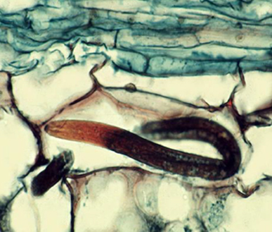nematodes-in-banana-crop