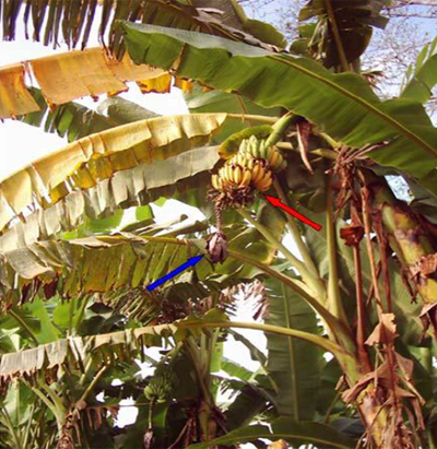 other-diseases-in-banana-plant
