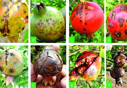 pomegranate-tree crop diseases infromation
