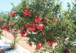 pomegranate-tree crop farming details