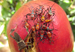 pomegranate-tree crop insects infromation