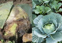 cabbage-crop-afterpesticides-result