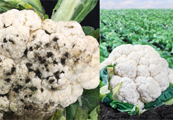 cauliflower-crop-afterpesticides-result