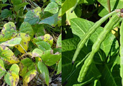cowpea-crop-afterpesticides-result