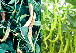 green-chilli-crop-afterpesticides-result