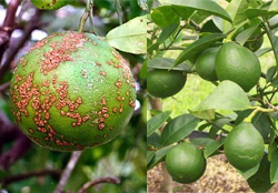 lamon-tree-crop-afterpesticides-result