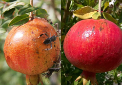 pomegranate-tree-crop-afterpesticides-result
