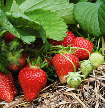 strawberry-crop-afterpesticides-result
