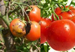 tomato-crop-afterpesticides-result