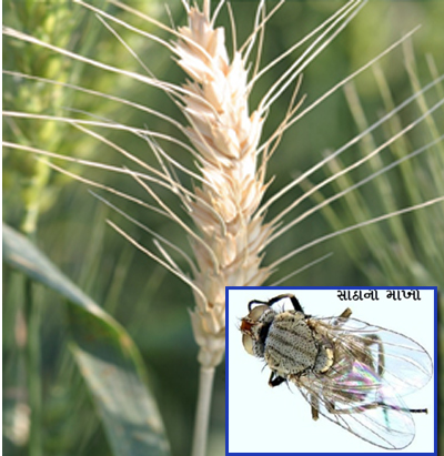 wheat - Insects gulabi-iyal