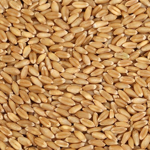 sell organic wheat online