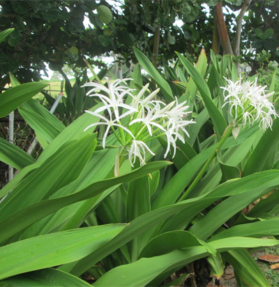spider-lily-flower-plant-diseases