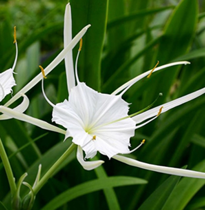 spider-lily-flower crop farming details