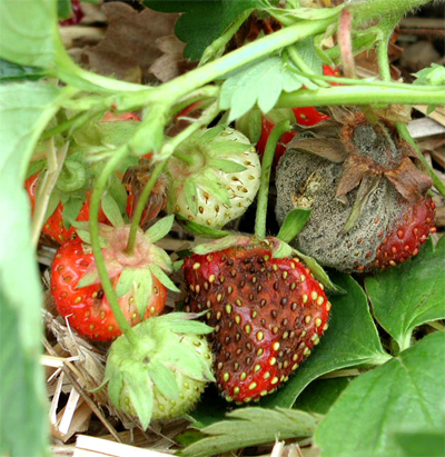 strawberry crop diseases infromation