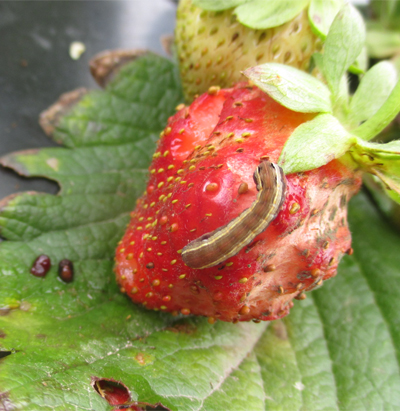 strawberry crop insects infromation